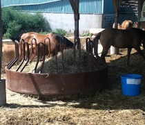 horses lying around on a hot summer day